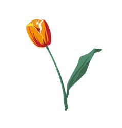 realistic flower tulip tulip in eps10 vector image