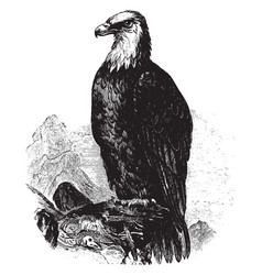 bald eagle vintage vector image