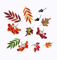 set of rowan viburnum berries and fall leaves on vector image