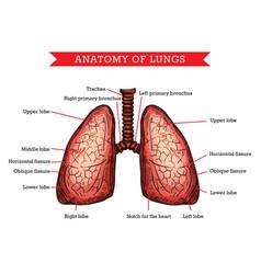Human lungs anatomy medicine aid scheme vector