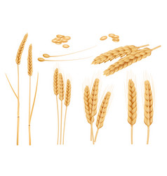 wheat grains agricultural collection healthy vector image