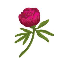 the single flowering dark pink peony vector image vector image