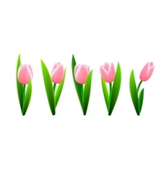 Tulip flowers isolated vector image vector image