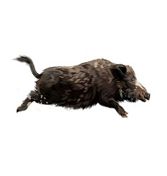 Boar from a splash watercolor colored drawing vector