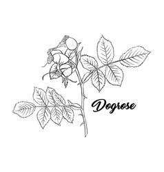 Dogrose or wild briar rose rosehip outline black vector
