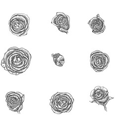 flowers set hand drawn rose vector image