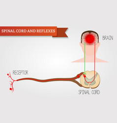 Infographics spinal cord and reflexes central vector