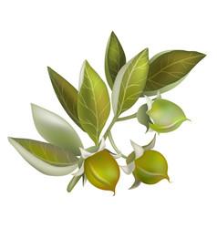 Jojoba fruit element for organic cosmetics vector
