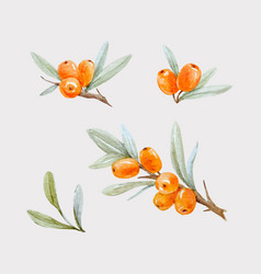 Watercolor sea buckthorn vector