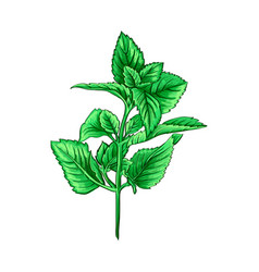 green mint branch tea herb theme isolated hand vector image