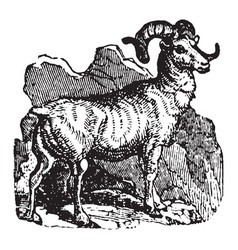Mountain sheep vintage vector