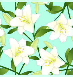 Lilium candidum the madonna lily or white lily on vector