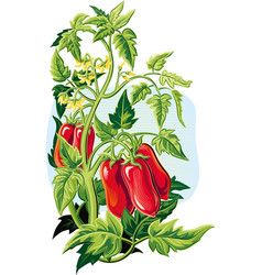 San marzano tomato plant with some fruits vector