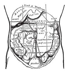 Regions abdomen and their contents vintage vector