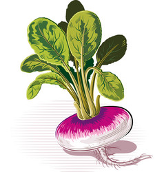 Turnip on a white background vector