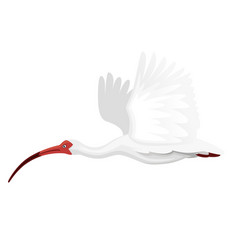 american white ibis flying flapping his wings vector image