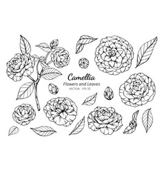 collection set of camellia flower and leaves vector image