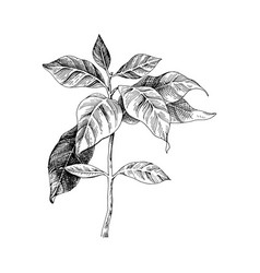 hand drawn coffee seedling vector image