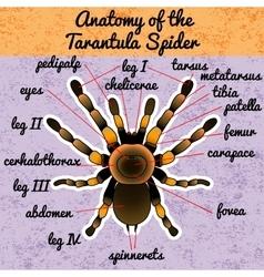 Insect anatomy Tarantula spider Brachypelma vector