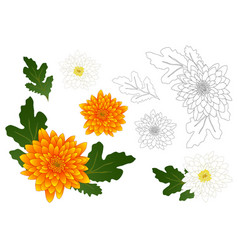 Yellow and white chrysanthemum outline vector