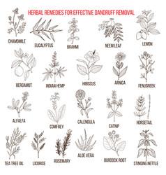 Best herbal remedies for effective dandruff vector