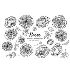 collection set of rose flower and leaves drawing vector image