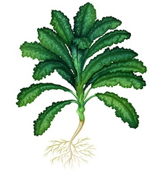 Fresh kale with roots vector image