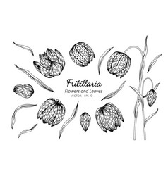 Collection set of fritillaria flower and leaves vector