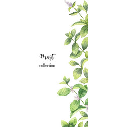 watercolor banner of mint branches isolated vector image
