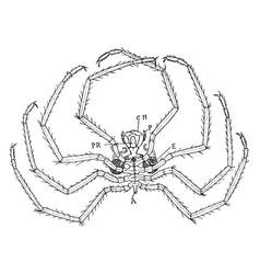 nymphon sea spider vintage vector image vector image