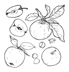 Apples whole and cut into slices vector