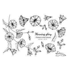 collection set of morning glory flower and leaves vector image
