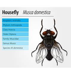 Common housefly vector image