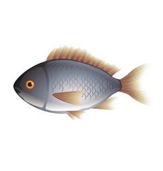 Dorada fish isolated on white vector image