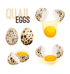 Quail eggs whole and broken vector