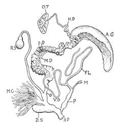 Snail reproductive organs vintage vector