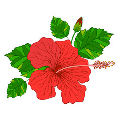 tropical flower hibiscus red color vector image