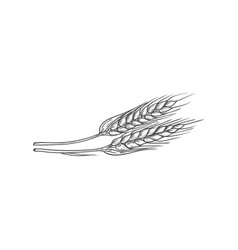 Ears wheat isolated spike bakery symbol sketch vector