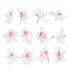 White flowers rhododendrons mountain shrub vector