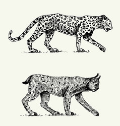 wild cats set leopard and lynx engraved hand vector image vector image