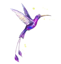 Hummanbird watercolor vector
