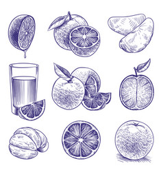 sketch orange drawing engraved oranges botanical vector image