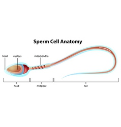 Sperm cell structure vector
