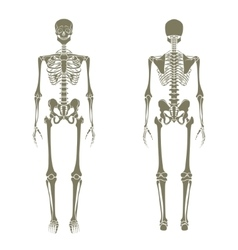 Human skeleton Didactic board of anatomy of human vector image