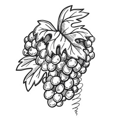 Bunch of grapes freehand pencil drawing vector