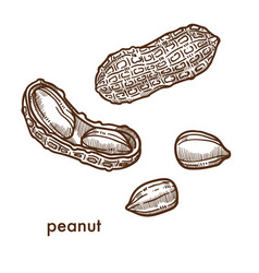 Ripe whole and peeled peanut in shell set vector