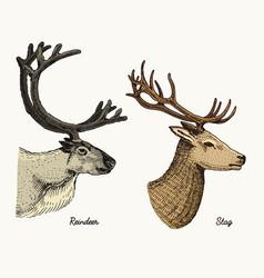reindeer and stag deer hand drawn vector image