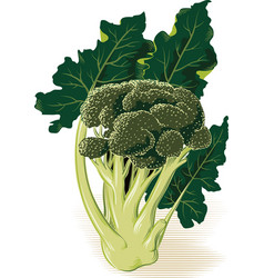Plant broccoli vector