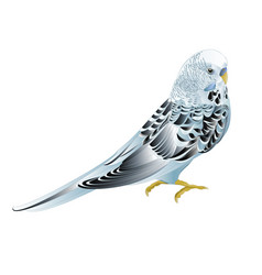 Blue pet parakeet budgerigar or budgie vector