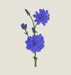 realistic botanical drawing of chicory with purple vector image